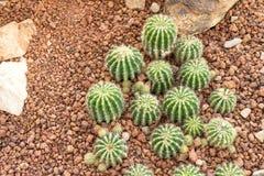 Chiuda sul cactus Fotografie Stock
