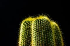 Chiuda sul cactus su fondo nero Immagini Stock