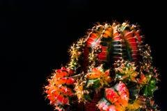 Chiuda sul cactus su fondo nero Fotografie Stock Libere da Diritti