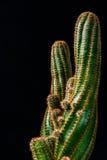 Chiuda sul cactus su fondo nero Fotografia Stock Libera da Diritti