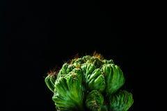 Chiuda sul cactus su fondo nero Fotografia Stock