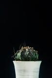 Chiuda sul cactus su fondo nero Immagine Stock