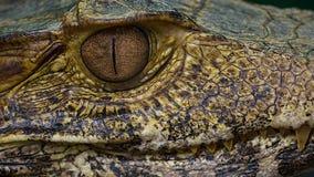Chiuda sul caimano Fotografia Stock