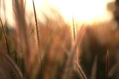 Chiuda sul campo di erba durante la luce solare, il tramonto, aumento dell'insieme Fotografia Stock Libera da Diritti