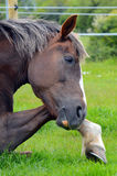 Chiuda sul cavallo di /detail/coda di cavallino che riposa la sua testa sulla sua zampa anteriore Fotografie Stock