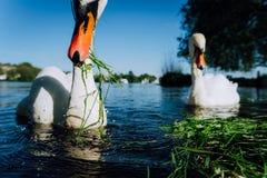 Chiuda sul cigno bianco della tolleranza di iof che allunga il suoi collo e testa verso la macchina fotografica Lago Alster un gi Fotografia Stock Libera da Diritti