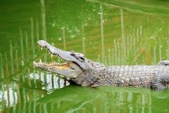 Chiuda sul coccodrillo Immagine Stock Libera da Diritti