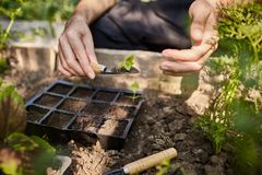 Chiuda sul colpo all'aperto dell'agricoltore che pianta le giovani piantine dei fiori nel giardino Uomo che tiene poco germoglio  Fotografia Stock Libera da Diritti