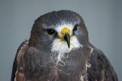 Chiuda sul colpo capo di Swainson' la s Hawk ( buteo swainsoni) è un lar fotografie stock