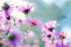 Chiuda sul colpo degli aster dei fiori di porpora Fotografia Stock