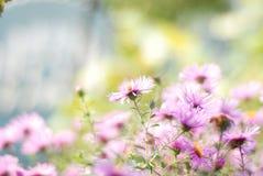 Chiuda sul colpo degli aster dei fiori di porpora Immagini Stock Libere da Diritti