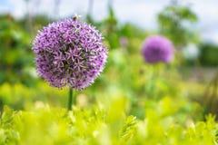 Chiuda sul colpo dei fiori porpora degli allium Fotografie Stock Libere da Diritti