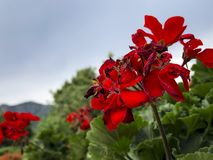 Chiuda sul colpo dei fiori rossi fotografie stock libere da diritti