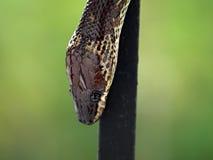 Chiuda sul colpo del serpente marrone Immagini Stock