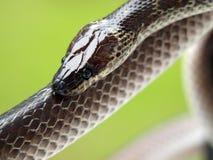 Chiuda sul colpo del serpente marrone Immagini Stock Libere da Diritti