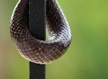 Chiuda sul colpo del serpente marrone Fotografia Stock