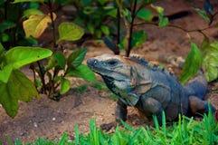 Chiuda sul colpo dell'iguana Immagine Stock