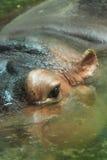 Chiuda sul colpo dell'occhio dell'ippopotamo in acqua Immagine Stock