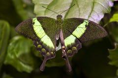 Chiuda sul colpo della farfalla Fotografia Stock Libera da Diritti