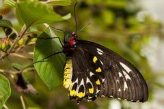 Chiuda sul colpo della farfalla Fotografia Stock