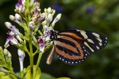 Chiuda sul colpo della farfalla Immagini Stock