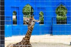 Chiuda sul colpo della giraffa Fotografia Stock