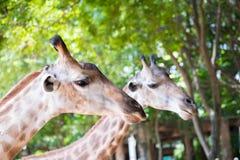 Chiuda sul colpo della natura del headIn della giraffa Immagini Stock
