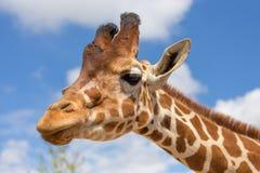 Chiuda sul colpo della testa della giraffa Fotografia Stock