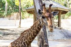 Chiuda sul colpo della testa della giraffa Fotografie Stock