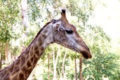 Chiuda sul colpo della testa della giraffa Fotografie Stock Libere da Diritti
