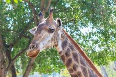 Chiuda sul colpo della testa della giraffa Fotografia Stock Libera da Diritti