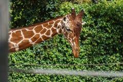Chiuda sul colpo della testa della giraffa su fondo verde in uno zoo Fotografie Stock
