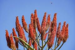 Chiuda sul colpo di bello fiore rosso dei arborescens dell'aloe Fotografia Stock