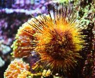 Lividus del Echinus o il riccio di mare Immagini Stock