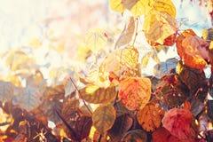 Chiuda sul colpo di immagine con le foglie rosse gialle variopinte di caduta di autunno sui rami di albero Immagine Stock