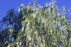Chiuda sul colpo di di olivo nella stagione di autunno Immagini Stock Libere da Diritti