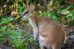 Chiuda sul colpo di un wallaby nel parco nazionale di Hillsborough del capo, Queensland fotografia stock libera da diritti