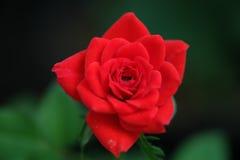 Chiuda sul colpo di una rosa rossa Immagine Stock