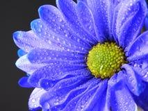 Chiuda sul colpo di Violet Blue Daisy con le gocce di pioggia Fotografie Stock Libere da Diritti