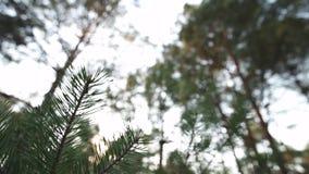 Chiuda sul colpo lento degli aghi del pino - foresta verde di paese baltico Lettonia archivi video