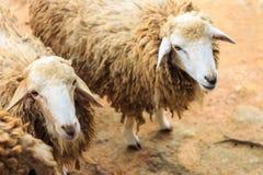 Chiuda sul colpo sulle pecore. Fotografie Stock