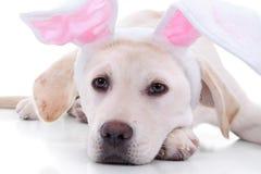 Chiuda sul cucciolo di Labrador Immagine Stock Libera da Diritti