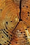 Chiuda sul dettaglio del ceppo di albero di decomposizione Immagini Stock