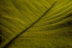 Chiuda sul dettaglio della foglia verde dell'albero della magnolia Fotografie Stock