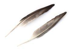 Chiuda sul dettaglio della piuma di uccello isolato su bianco Immagini Stock Libere da Diritti
