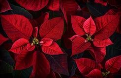 Chiuda sul dettaglio delle foglie della pianta della stella di Natale Fotografia Stock Libera da Diritti