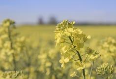 Chiuda sul dettaglio di un fiore giallo della violenza Immagine Stock