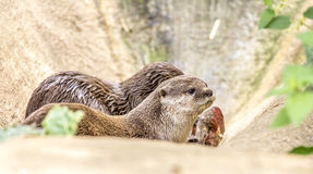 Chiuda sul dettaglio di una lontra Fotografia Stock