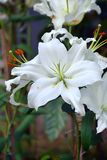 Chiuda sul fiore bianco dell'orchidea fotografie stock libere da diritti