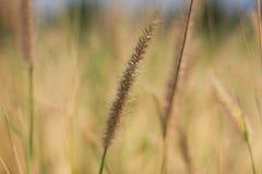 Chiuda sul fiore dell'erba Fotografie Stock Libere da Diritti